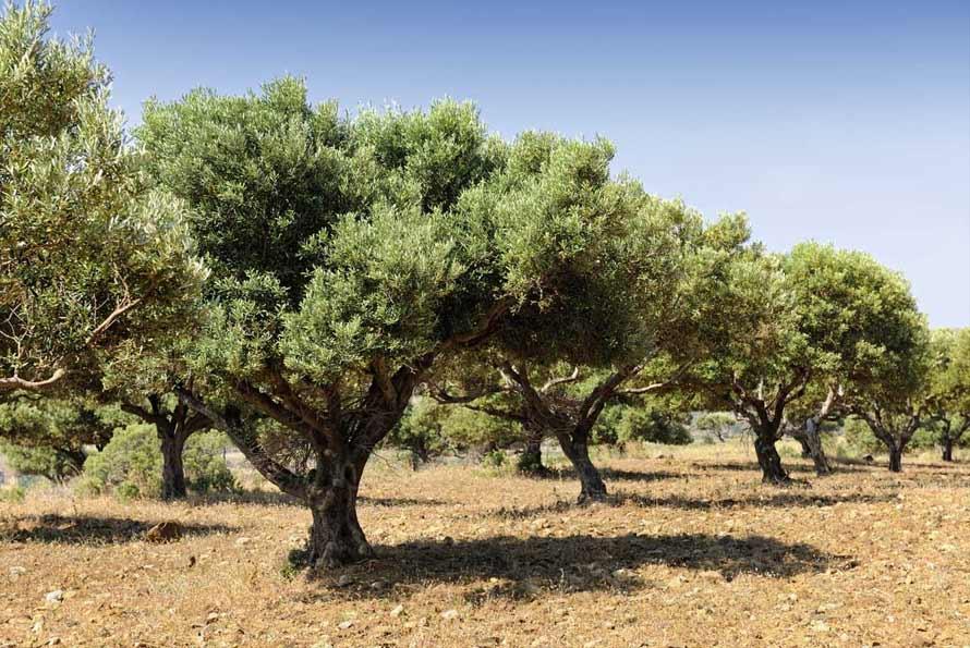 historia aceite oliva